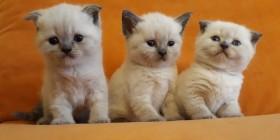 Продаю замечательных котят шотландцев