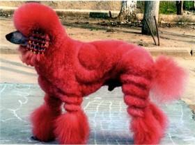 Стрижка собак маленьких пород. Парикмахер-стилист 1 категории.