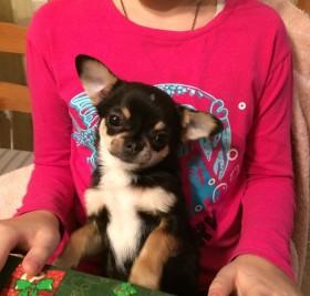 Продаётся щенок чихуахуа