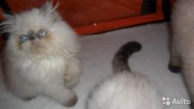 Продаю экзота и персидского котиков редких окрасов