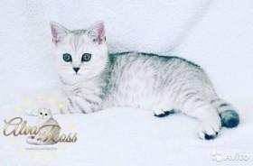 Шикарный котёнок из питомника