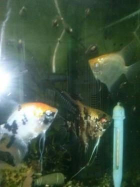 Рыбки скалярки