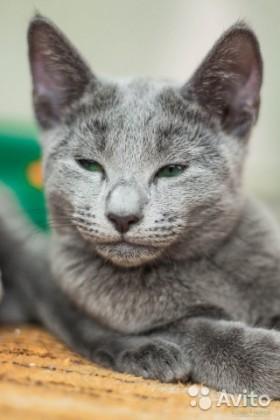 Роскошные Русские Голубые котята