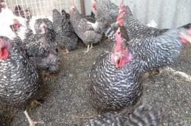 Инкубационное яйцо Плимутрок, Австралорп, петухи