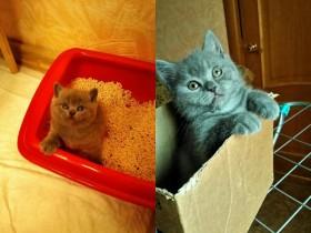 Шотландские котята от вислоухой кошечки Блю Пойнт
