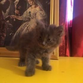 Породистый котенок пепельного цвета