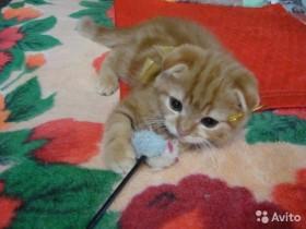 Красный мраморный котенок Пьер