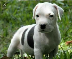 щенок Стаффорд