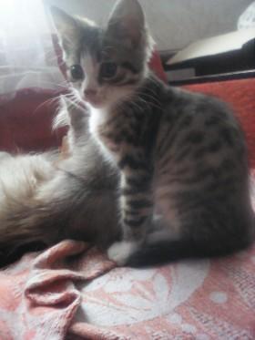 отдам в хорошие руки серенького котика и красавицу кошкчку