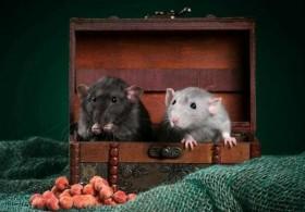 Крысята. Питомник. Заводчик Ветеринарный врач