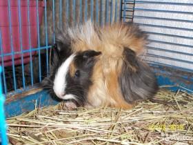Перуанские и Абиссинские свинки