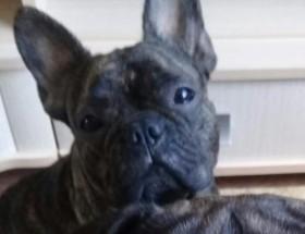 Пропала собака французский бульдог