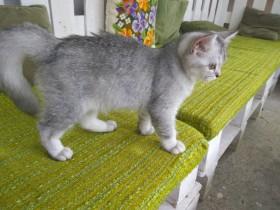 Почти даром котята серебристой шиншиллы !