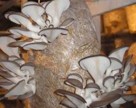 Семена грибов шампиньонов, вешенки, опят, шиитаке для дома и дачи