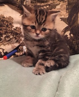 Продаю котёнка британец
