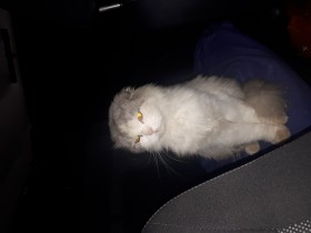 Найден вислоухий пушистый кот! Ищем старых или новых хозяев!