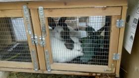 Распродажа калифорнийских кроликов и крольчат