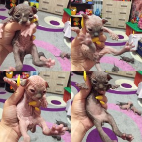Котята канадского сфинкса