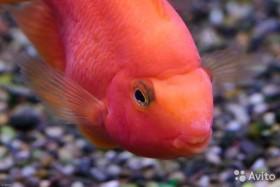 Рыбка попугай - цихлида