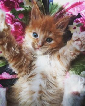 Мэйн Кун котенок