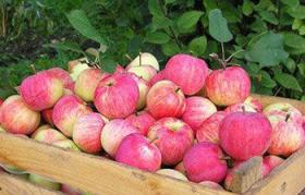 Рабочие для сбора урожая яблок в Воронежской области