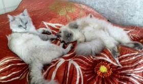 Невские Маскарадные котятки.