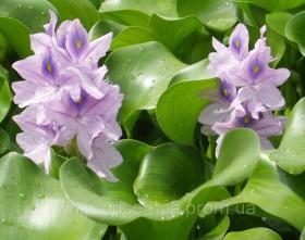 Растение для пруда и аквариума. Эйхорния