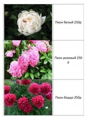 продаю многолетние цветы