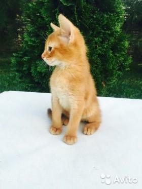 Золотой котик Аби