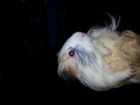 Морская свинка самец (Шелти)