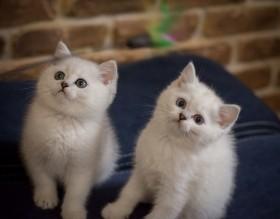 Милейшие британские котята (окрас шиншилла)