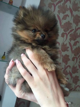 Продается щенок померанского шпица