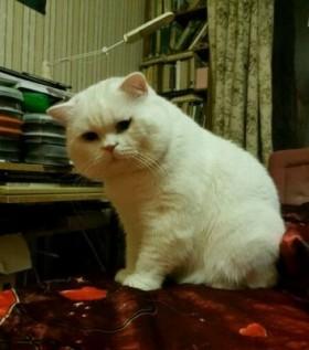 Белый кот ждет кошечку на вязку
