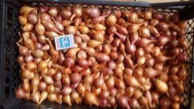 Продам лук-севок