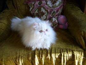 Персидский кот ищет новую семью