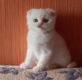 Продается котик шотландец вислоухий элитного окраса.