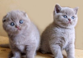 Котята выстовочных родителей