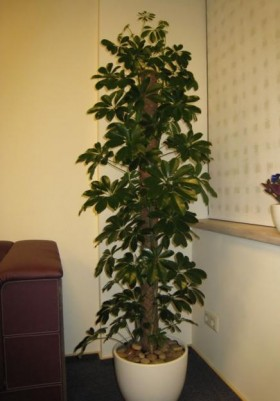 Продаю большие комнотные цветы для офиса и дома. Цена договорная. Сорта цветов: шеффлера, кодиум и фикусы