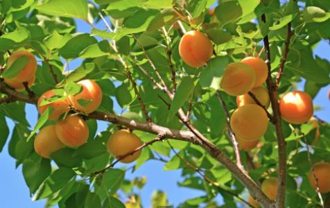 Выращивание абрикосов в средней полос 3