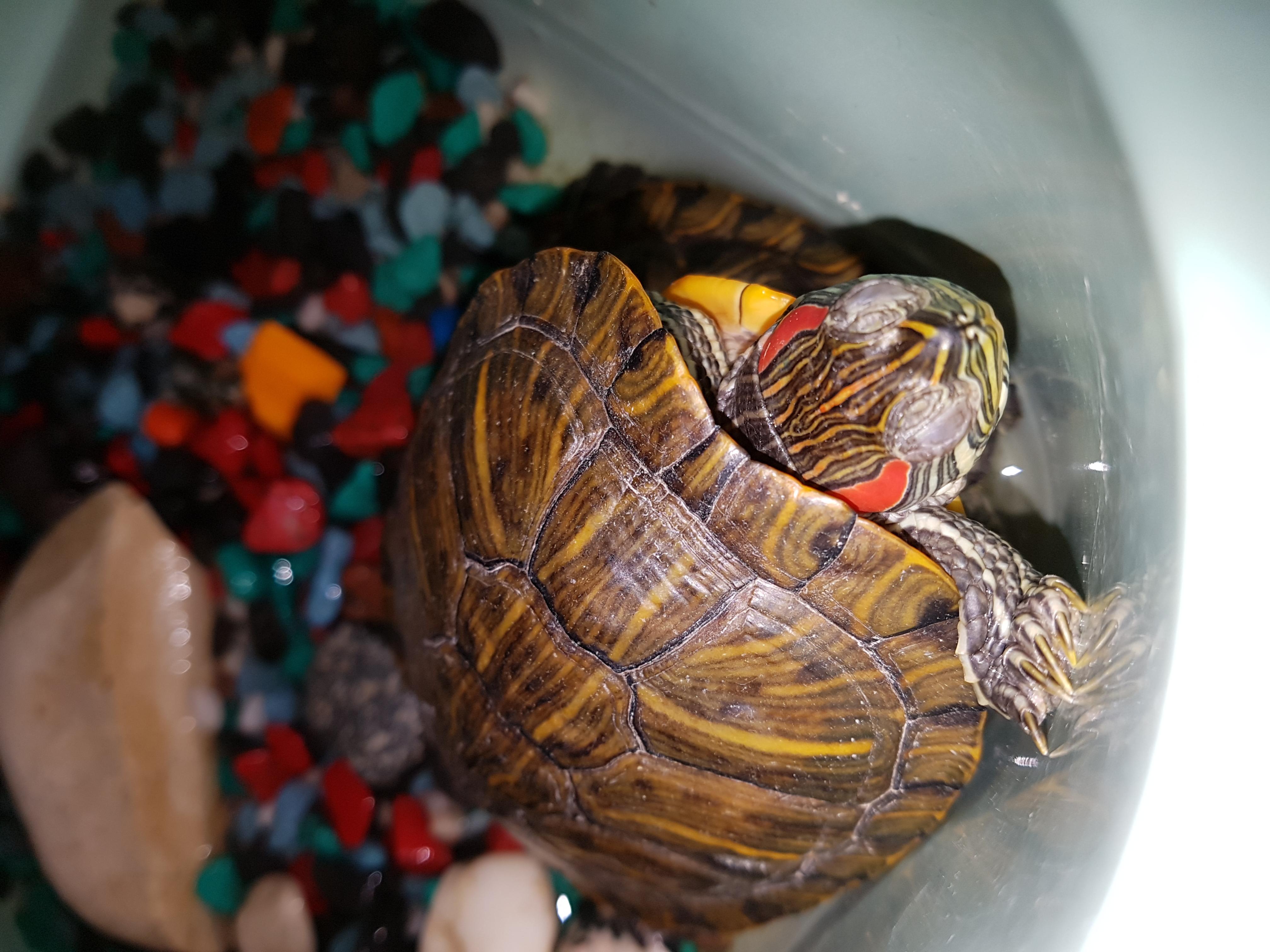 Чем кормить красноухую черепаху, в домашних условиях